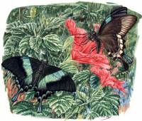 Papilio blumei. The Ecology of Sulawesi. Periplus Publishers Singapore.  » Click to zoom ->
