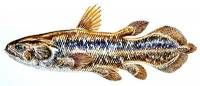 Latimeria menadoensis / Sulawesi coelacanth.