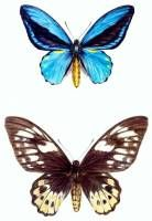 Ornithoptera aescus pair. Protected Species Project Indonesia.  » Click to zoom ->