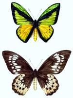 Ornithoptera goliath pair. Illustrations for the Protected Species Project Indonesia. An investigation project of the protected and threatened fauna of Indonesia by the Gibbon Foundation Jakarta.  » Click to zoom ->